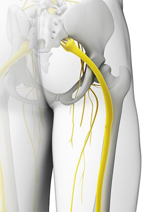 The sciatic nerve running down the leg