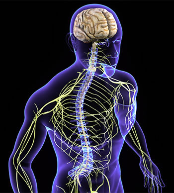 The spine protects the nervous system